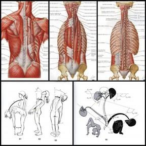 músculos espalda
