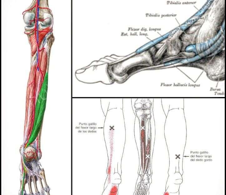 Flexor largo del dedo gordo